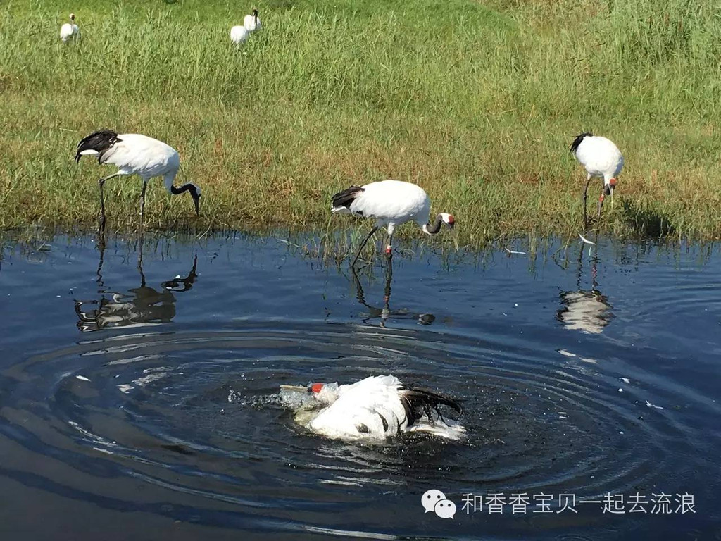 扎龙湿地观看丹顶鹤