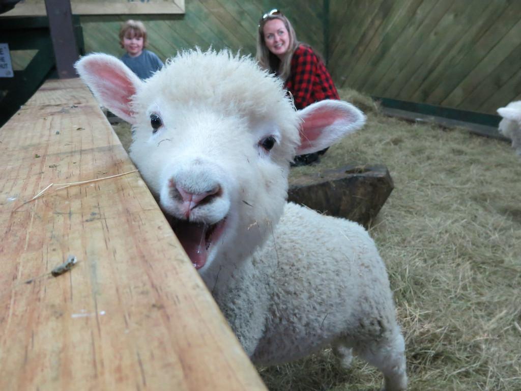 表演结束,来到动物育婴室,小羊太可爱