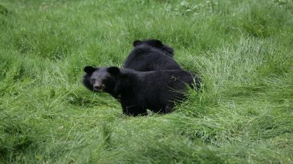 黑熊 国家二级保护动物