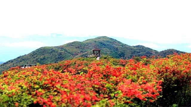 浏阳大围山国家森林公园踏春赏花一日游【赏万亩杜鹃花 长沙往返 天天