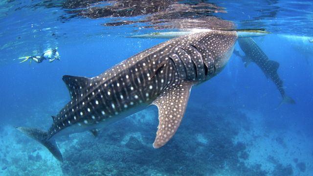 菲律宾杜马盖地oslob浮潜看鲸鲨浮潜半日游