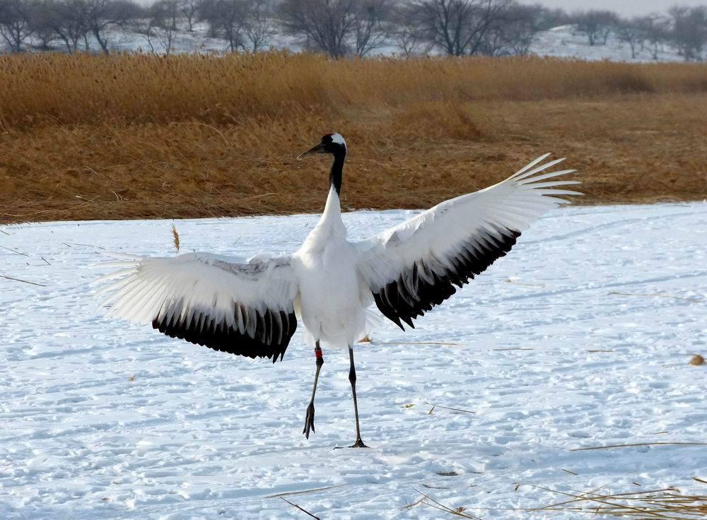丹顶鹤在翩翩起舞 丹顶鹤弯腰和展翅是表示怡然自得,舒服…… 丹顶鹤