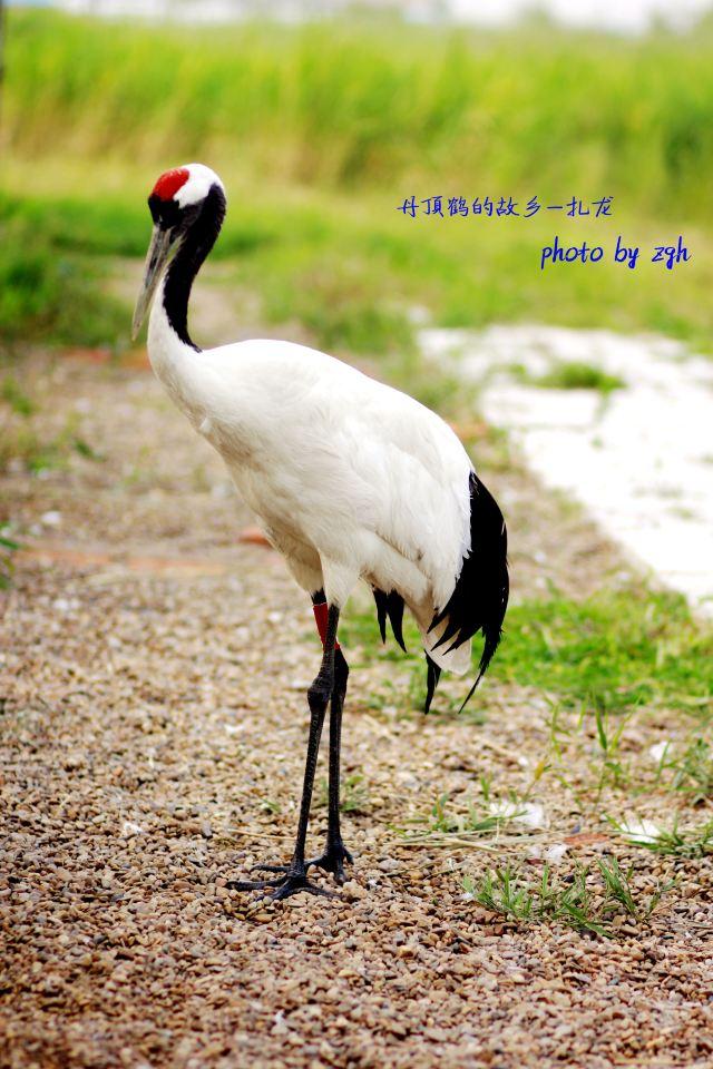 扎龙自然保护区—丹顶鹤的故乡