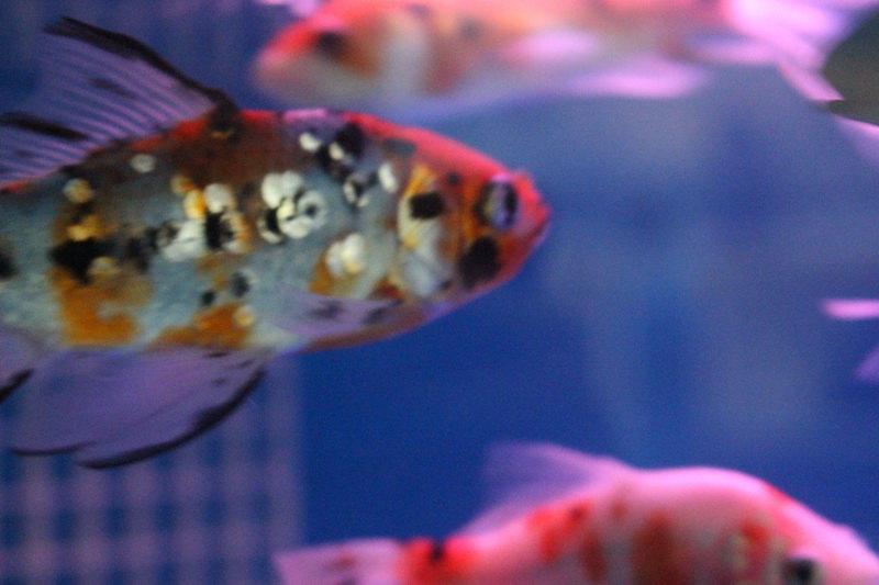 金鱼吃食的样子很可爱