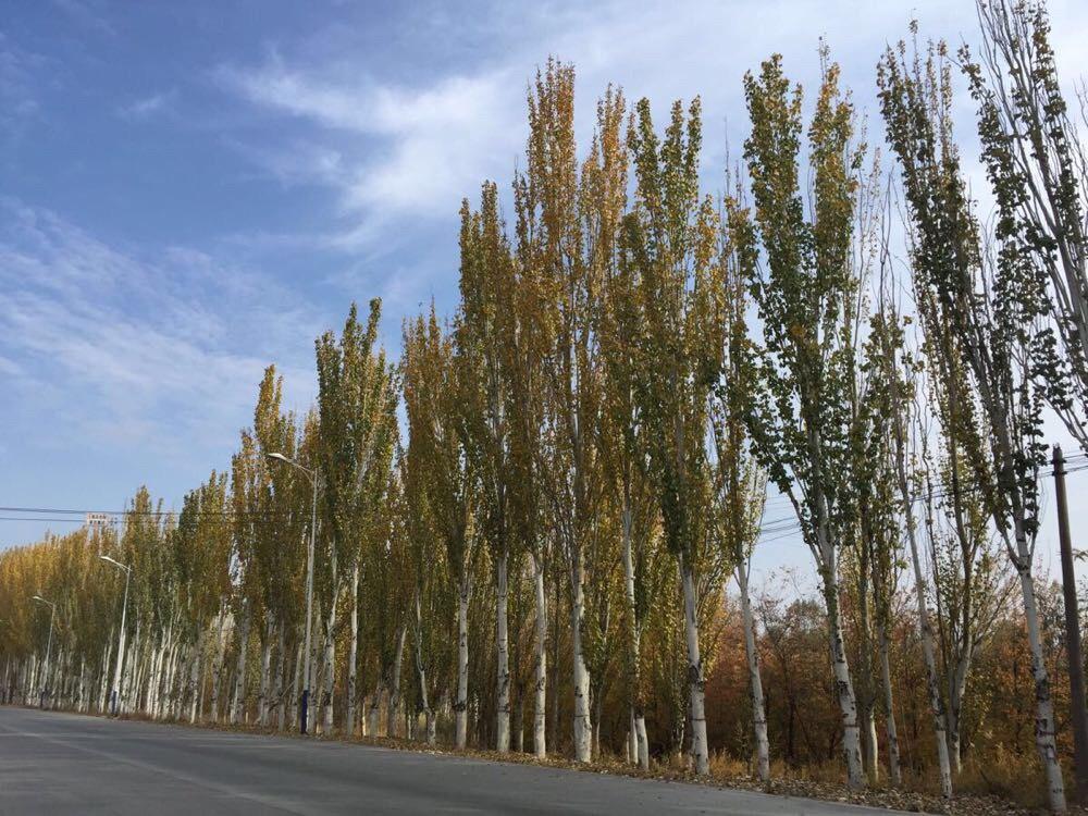 一起见证宁夏的秋天-金秋杨树林