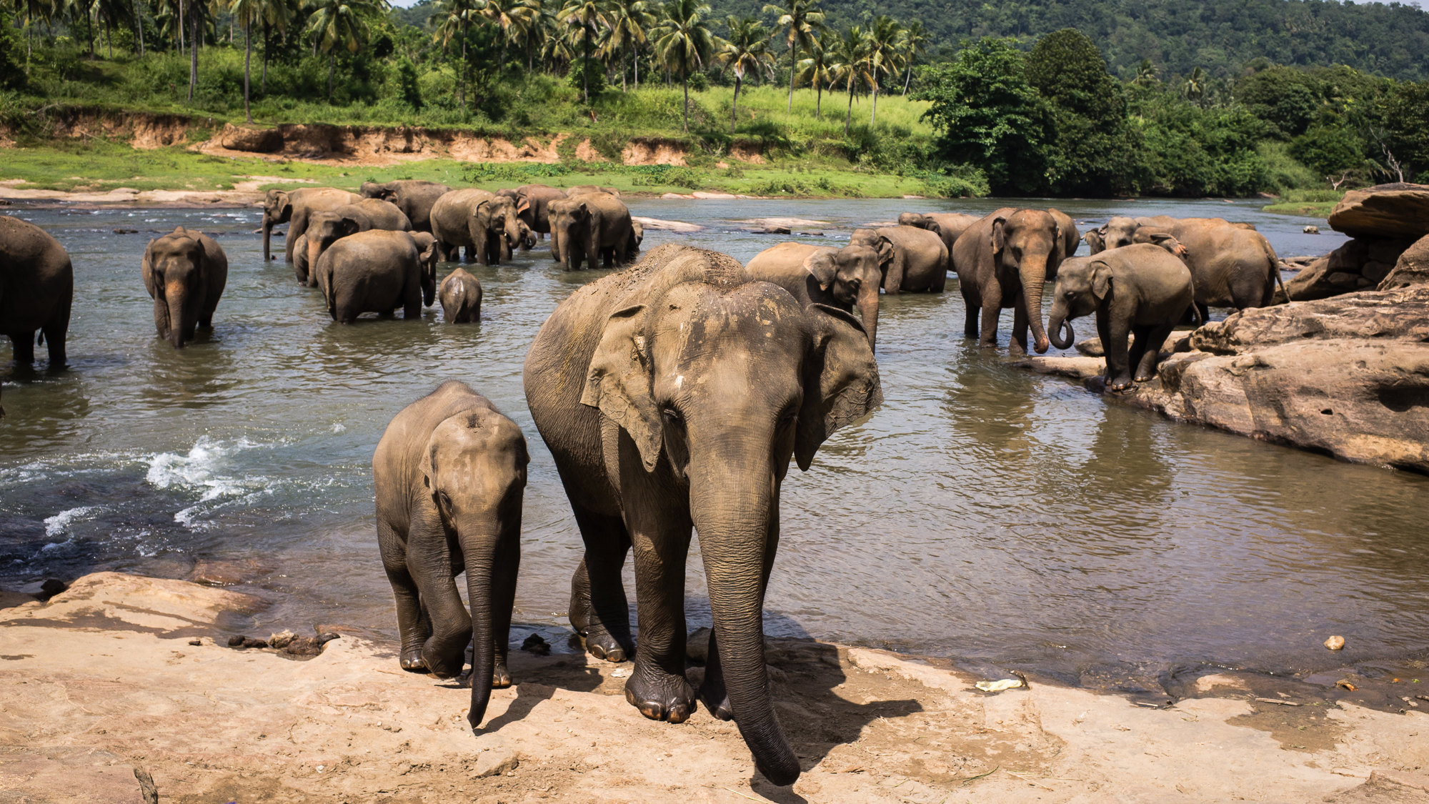 品纳维拉大象孤儿院  Pinnawela Elephant Orphanage   -0