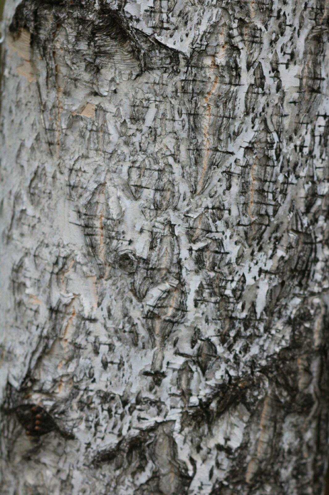 白桦树皮上的木纹也是美的