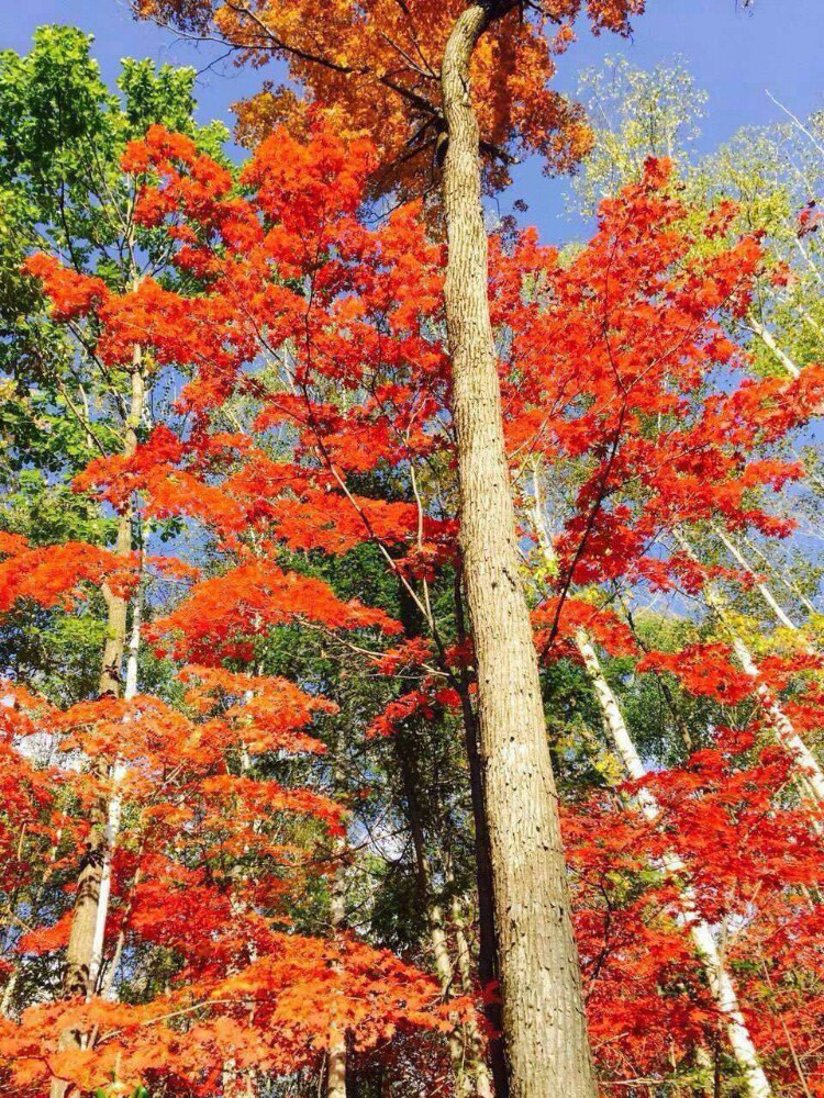 壁纸 枫叶 红枫 树 750_1000 竖版 竖屏 手机图片