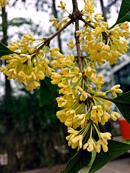 漫天的桂花花瓣,沁人的花香,让佳佳流连忘返.