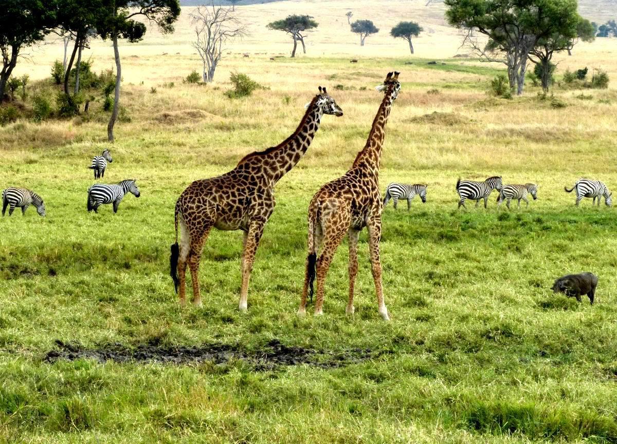 摄于马赛马拉国家自然保护区