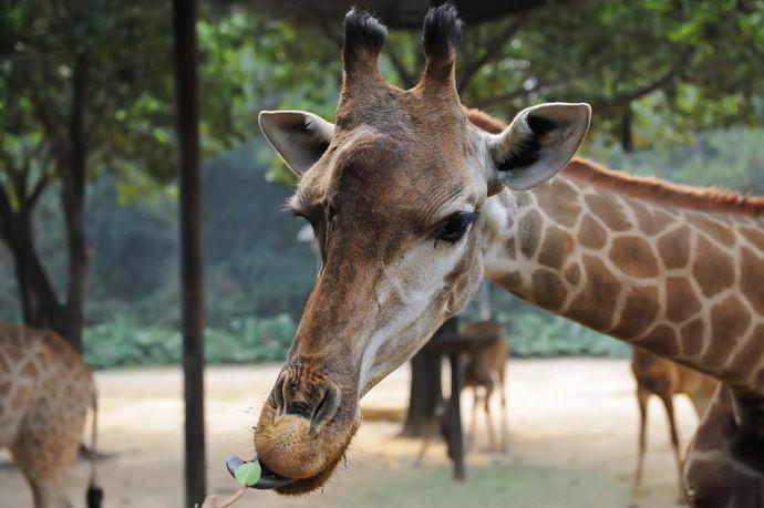 很馋 幼虎宝宝,不如上海野生动物园的数量多 幼狮 喂食长颈鹿 近距离