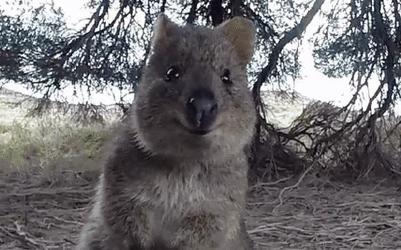 """1.短尾矮袋鼠 短尾矮袋鼠是最小的袋鼠之一,身高不到60厘米,因其胖嘟嘟的脸庞和""""甜美""""的笑容被称为""""世界上最快乐的动物""""。看它不仅可爱,镜头感也十足呢!  它们生活在围绕城市珀斯的原始林区,最多数仍居于洛特尼斯岛和邻近的秃头岛。  2.考拉 考拉,又叫树袋熊,是澳大利亚的国宝之一,它每天18个小时处于睡眠状态,性情温顺,体态憨厚。   澳大利亚只有昆士兰州可以与考拉拥抱合影。 。 3."""