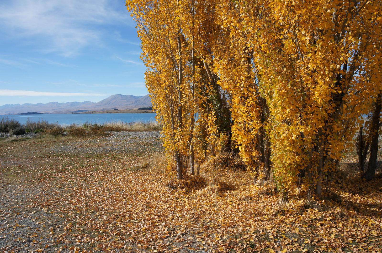 秋天杨树图片大全