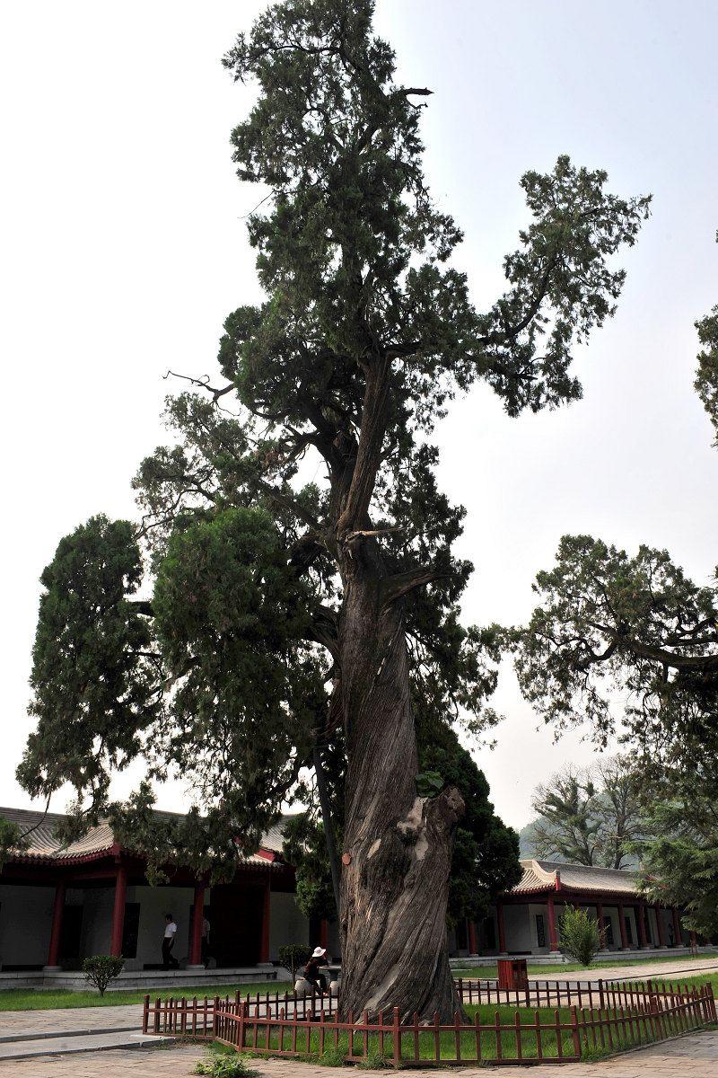 盆景 盆栽 树 松 松树 植物 800_1200 竖版 竖屏