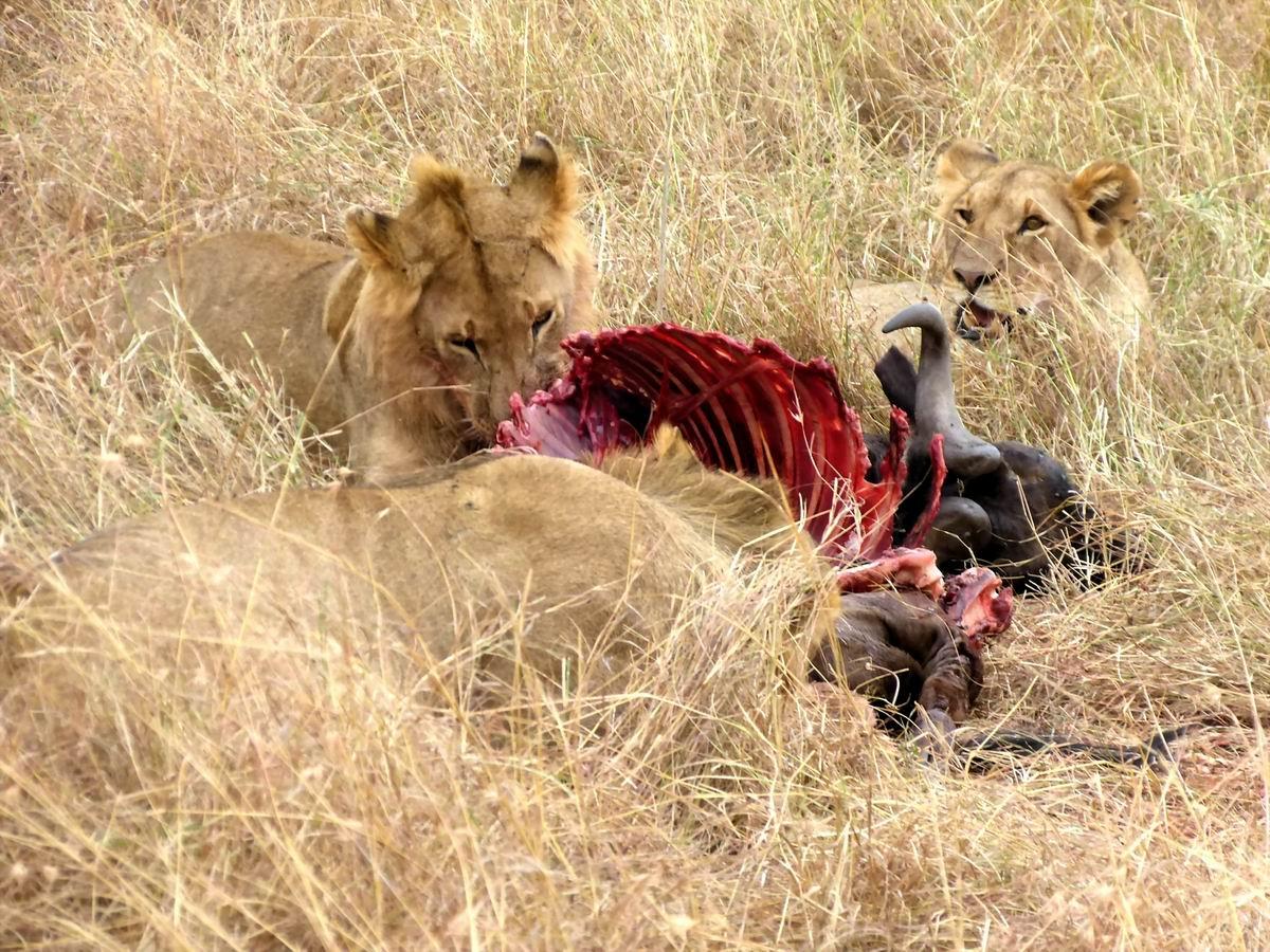 【i旅行】云游四海(40)野性肯尼亚之三 马赛马拉国家公园 马赛马拉国家公园是我们此次肯尼亚之行的重点,在这里 ,我们逗留了两天。 肯尼亚是野生动物的天堂,在这个国土面积相当于中国四川省的东非高原之国,散落着大约6 0个野生动物园,其中有26个是国家级野生动物保护区。而位于肯尼亚东南部与坦桑尼亚交界处的马赛马拉国家公园,堪称肯尼亚野生动物园的王中王。 马赛马拉野生动物保护区,大小仅次于东非大裂谷之间的塞伦盖蒂大草原,总面积4000平方公里,其中2500平方公里在坦桑尼亚境内,另外1500平方公里在肯