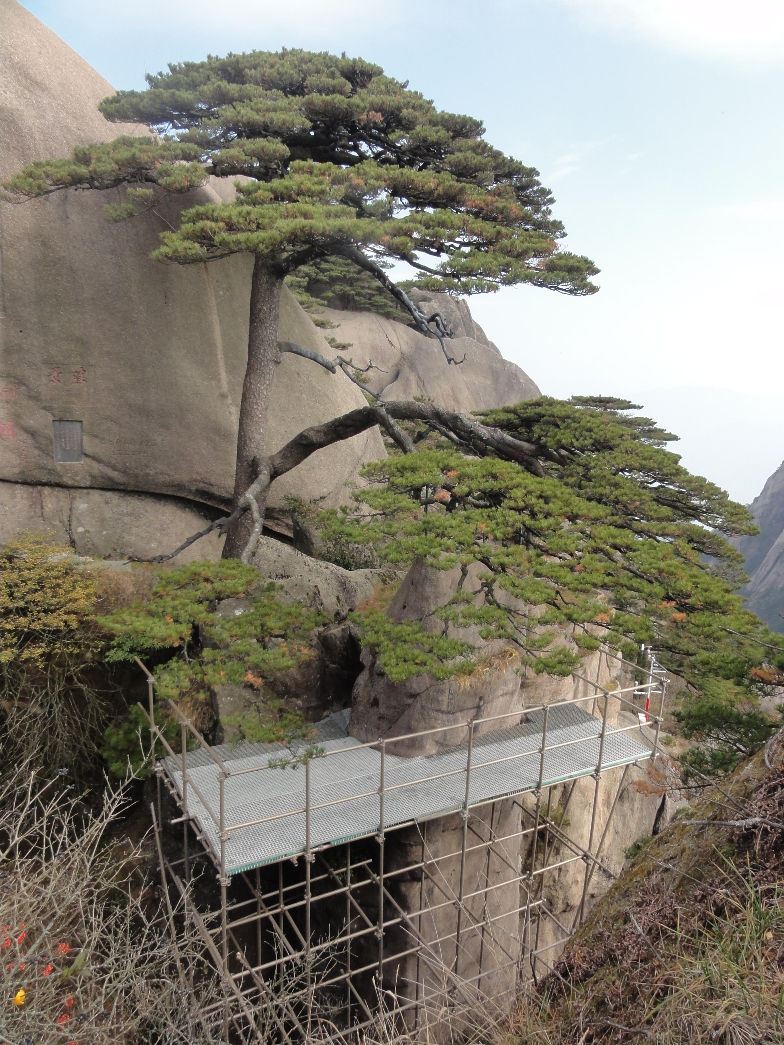 壁纸 风景 树 松 松树 2736_3648 竖版 竖屏 手机