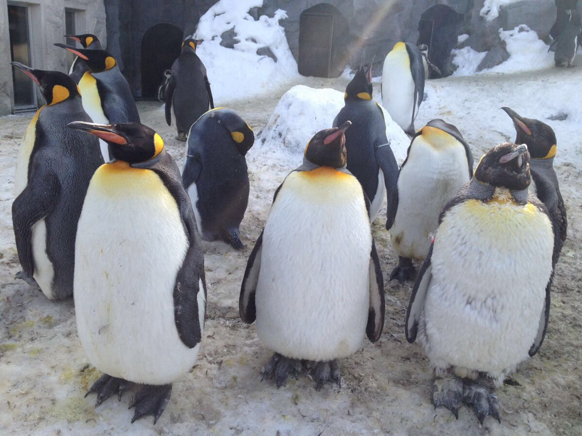 旭山动物园推荐: 企鹅馆(企鹅散步仅限冬季开放)