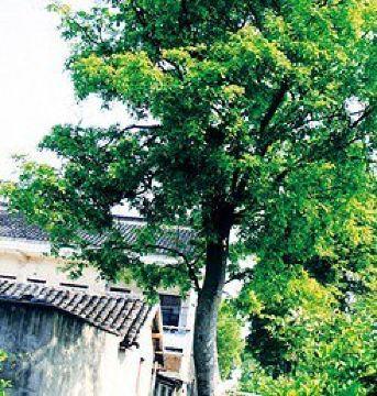 红豆树门票,张家港红豆树攻略/地址/图片/门票价格
