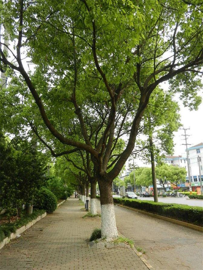 路边的香樟树,不知什么时候开始就变得如此浓绿了.