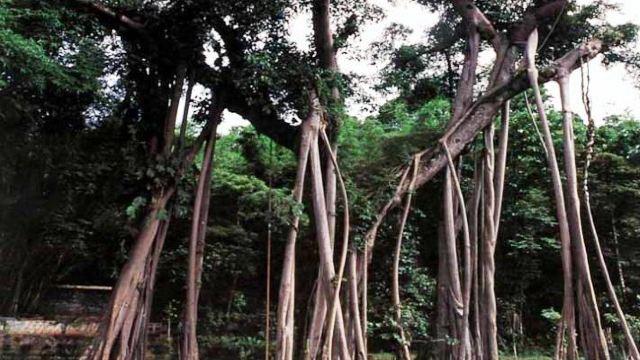 高清榕树森林壁纸