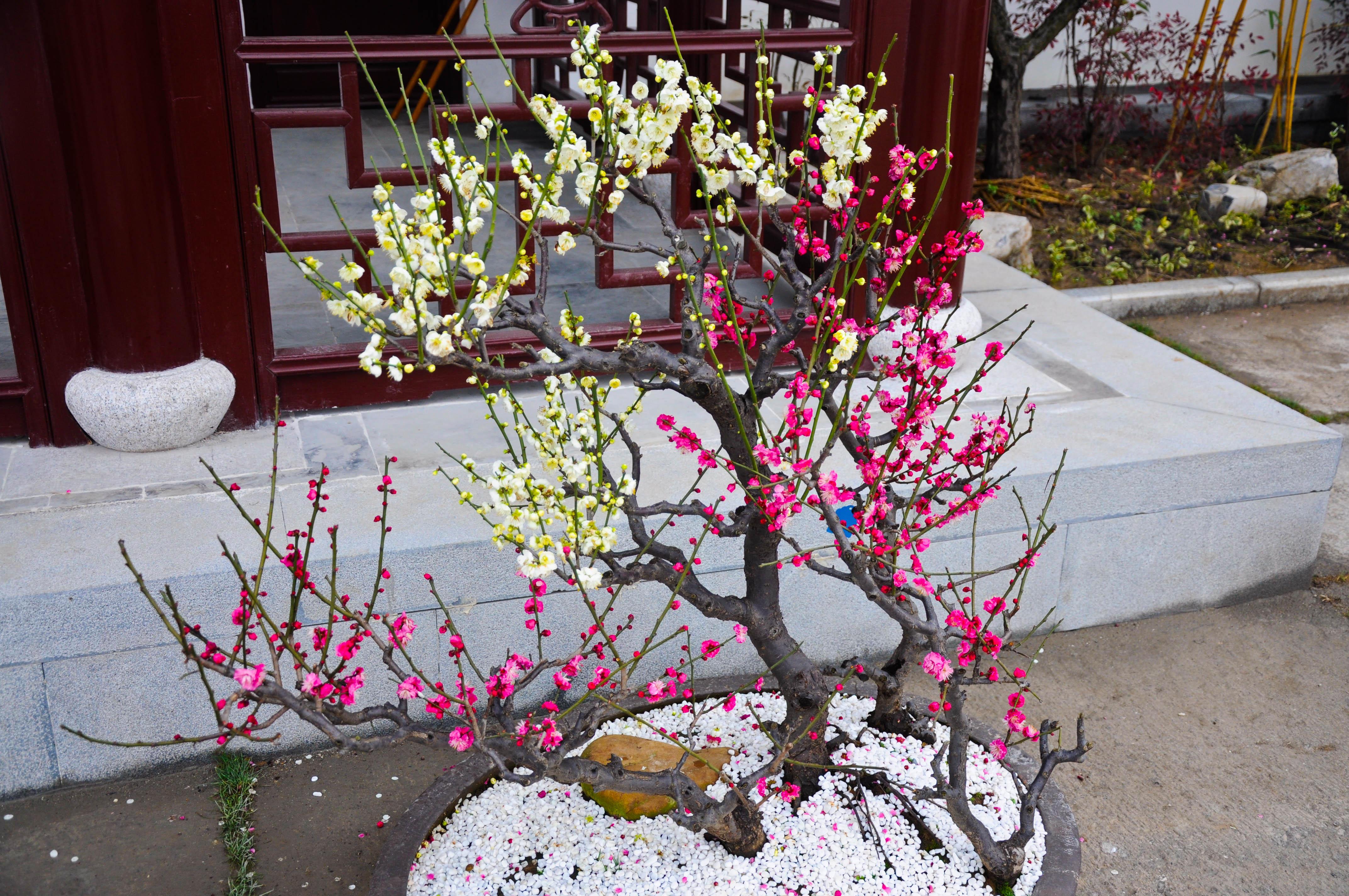 嫁接的梅花,所以一株树上开了红色和白色的花朵