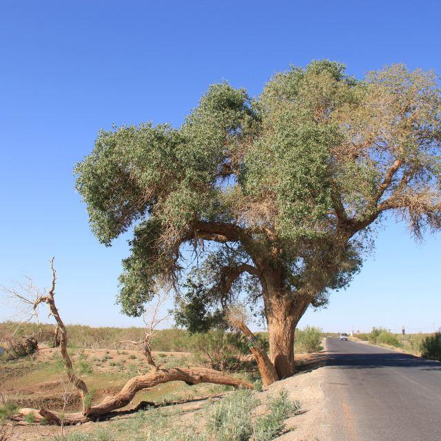 神树是一棵千年树龄的胡杨树(门票上说:树龄3千多年),树高27米