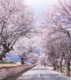 波密游记图文-什么是春天,就是那桃花漫山的西藏。【赴一场春天的约会】