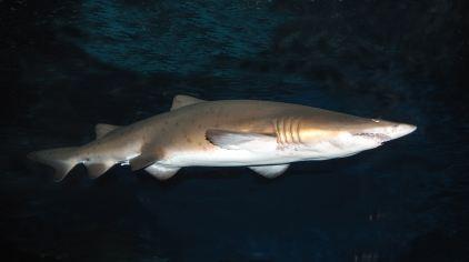 海洋动物--鲨鱼1