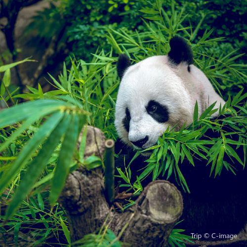 Giant Panda Breeding Research Base Chengdu Ticket