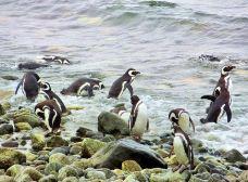 企鹅岛-蓬塔阿雷拉斯-Star189