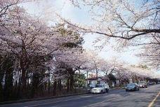 樱花大道-济州岛-小鱼儿2015