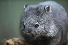 波诺朗野生动物园 (1)-袋熊-塔斯马尼亚州-塔斯玛尼亚州旅游局