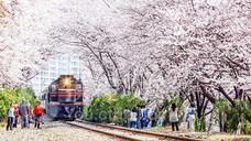 庆和站樱花路
