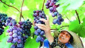 上海金山嘴渔村一日游【水果公园葡萄采摘(送一斤葡萄,市价25元)】