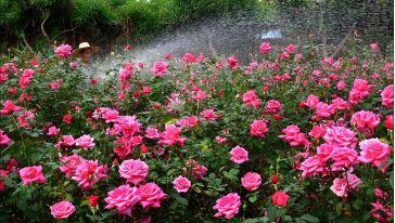 宝趣玫瑰世界 (10)