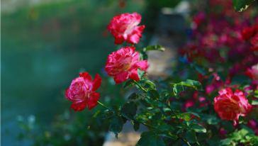 宝趣玫瑰世界 (22)
