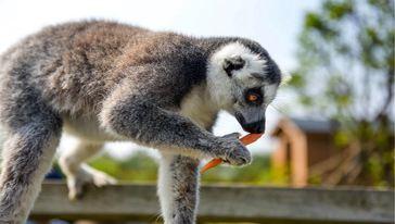环尾狐猴3
