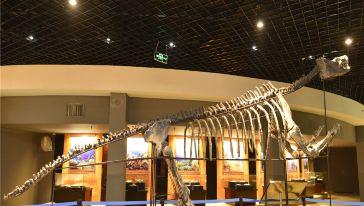 蜥脚类恐龙骨架化石