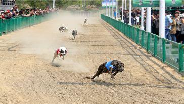 赛狗表演,体态优美、被毛亮丽的纯种格力赛犬让您充分感受速度与力量的碰撞,体验不一样的激情。