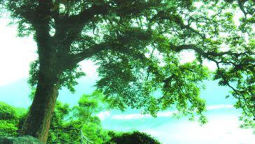 30重阳木
