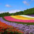 Hokkaido Furano Day Tour: Farm Tomita · Shikisai-no-oka (Depart from Sapporo)