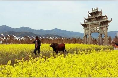 中国十大古镇油菜花