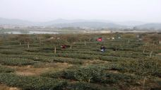 古蜀皇茶茶文化生态体验园-邛崃-柠吖柠檬